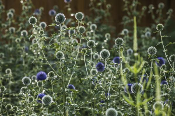 Globe thistles in bloom